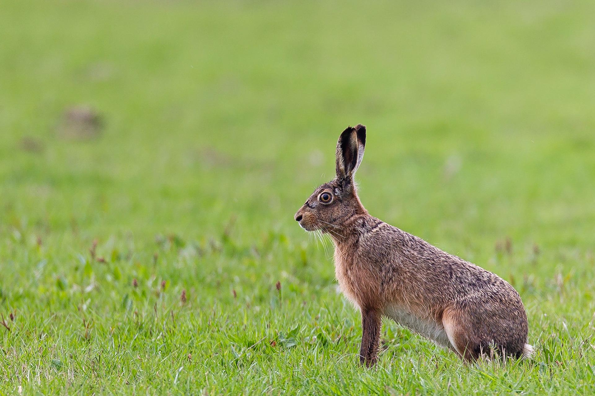 european hare lepus europaeus european hare size lepus europaeus pallas